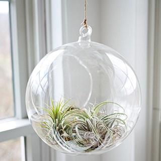 air plant in window