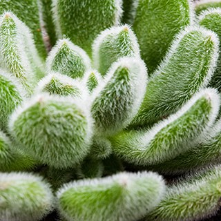 close up of fuzzy-leaved succulent
