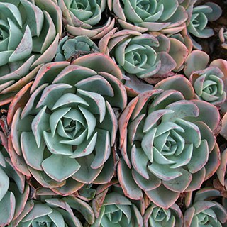 hen and chicks succulent care