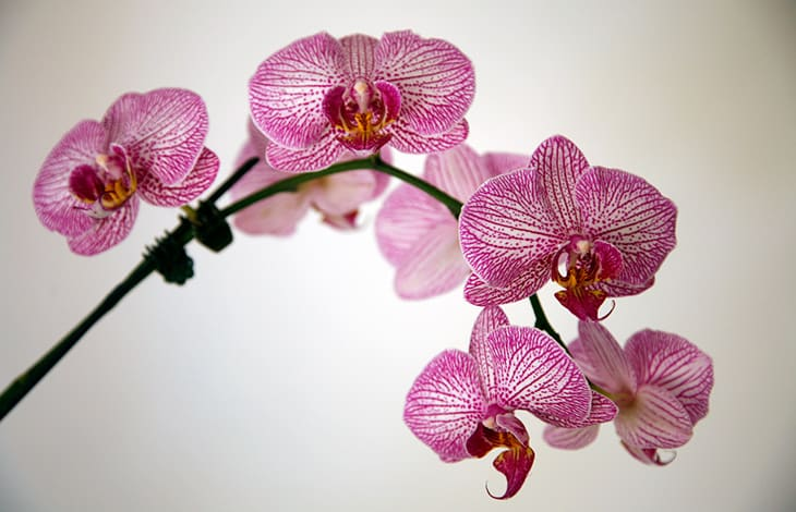 A curved branch of pink orchid blooms