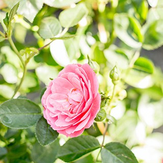 single pink blooming knockout rose growing on a rosebush