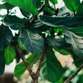 fiddle leaf branches and leaves