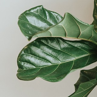 fiddle leaf fig leaves on a white background