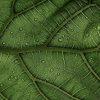 close-up of fig leaf with water droplets on it