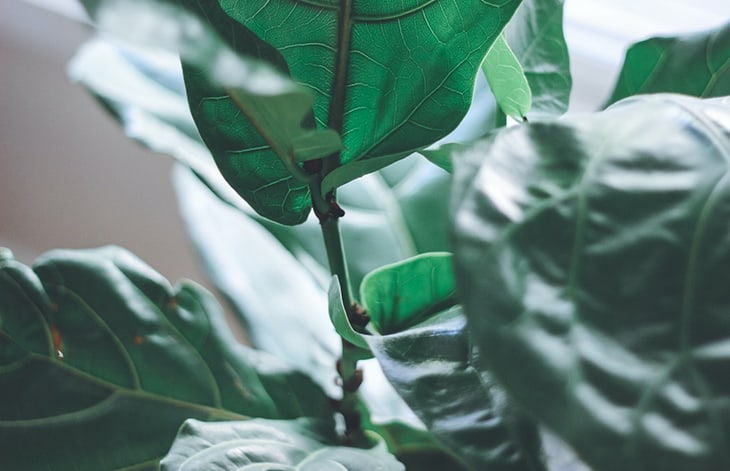 close up of a fiddle fig leaf plant