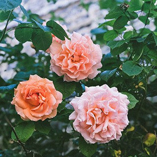 knockout rosebush with three coral-colored roses in full bloom