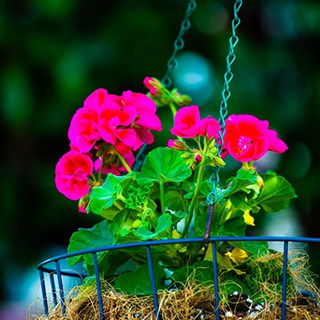 close-up of bright pink flowers in a black wire hanging basket