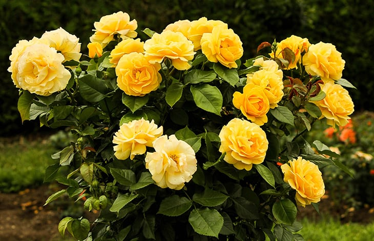 planted bush of yellow knockout roses
