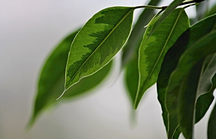 close-up of ficus leaves