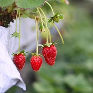 Three ripe red strawberries on the vine