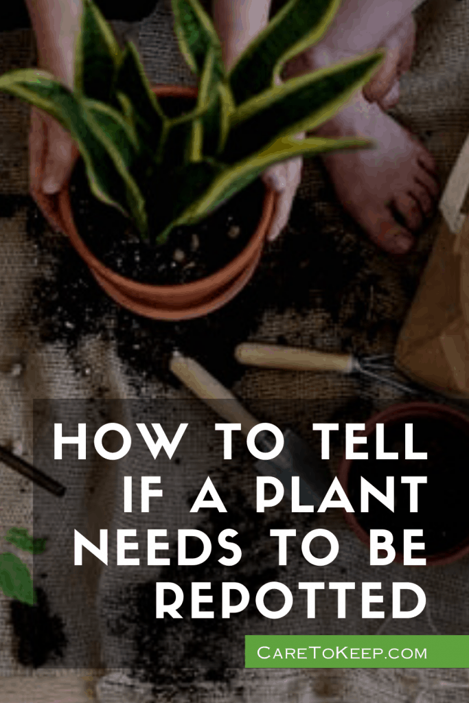 """A barefoot person repots a snake plant on top of a tan drop cloth covered with soil and gardening tools. White text on the bottom right of the image reads: """" How to tell if a plant needs to be repotted — CareToKeep.com"""
