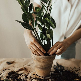 a person settles a plant into a tan pot on a table covered in dirt