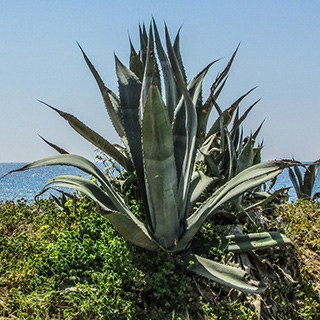 large aloe vera tree growing outside with a body of water in the background