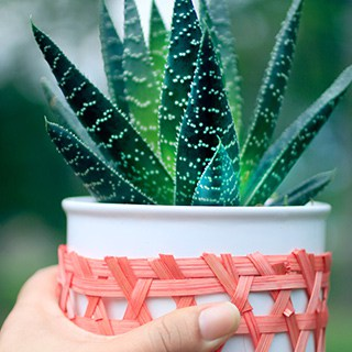 striped aloe vera plant in a white pot with a coral-colored sleeve