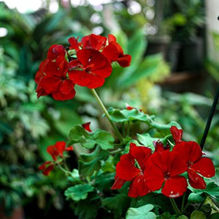 red geranium blooms on a background of greenery