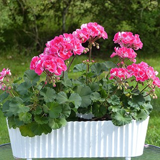 pink geraniums outside in a large white planter