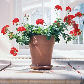 red geranium plant in a terra cotta plant in front of a window