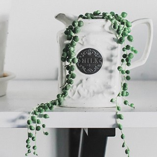 String of pearls plant growing in a white milk pitcher on a white table and background
