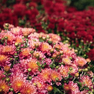 pink and red mums