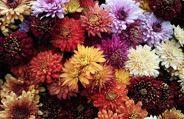 red, yellow, orange, and purple chrysanthemum flowers