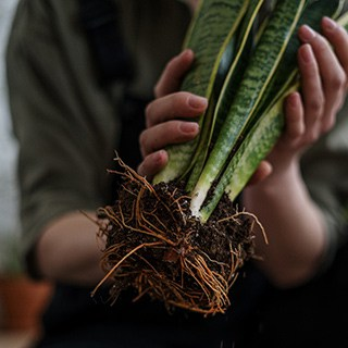 a person holds a rootbound sansevieria plant