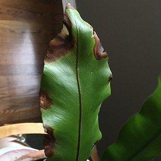 green leave with browned edges