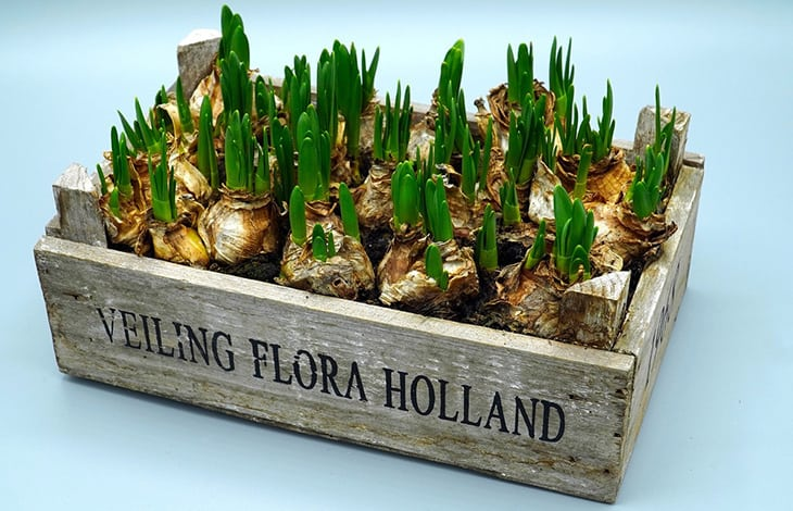 "a wooden crate with ""VEILING FLORA HOLLAND"" in black letters filled with bulbs"