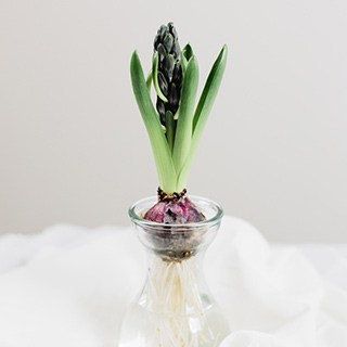 a bulb growing indoors in an hourglass forcing vase