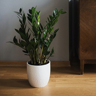ZZ plant in a white planter on a wood floor