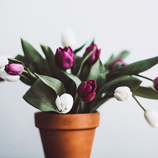 purple and white tulips blooming in a terra cotta pot