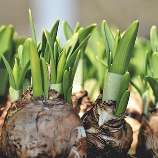 sprouting flower bulbs