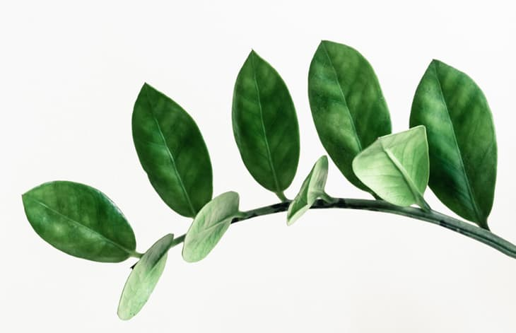 Leafy branch of a ZZ plant on a white background