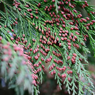 closeup of a red and green Balsam Fir needles