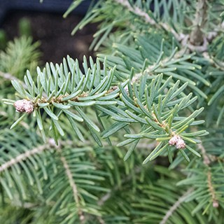close-up of Concolor evergreen branches