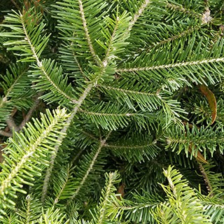 close-up of a Douglas Fir Christmas tree