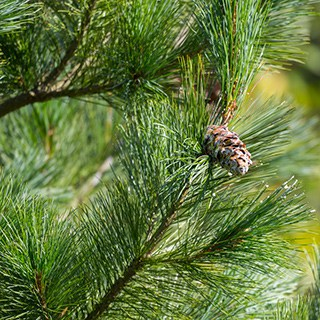 close-up of an Eastern White Pine tree