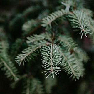 close-up of a Gran Fir Christmas tree