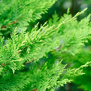 close-up of Leyland Cypress branches