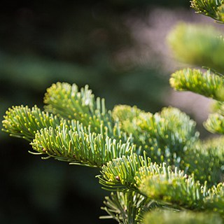 close-up of a Noble Fir Christmas tree