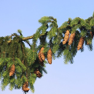 Norway Spruce evergreen branch with cones against a blue sky