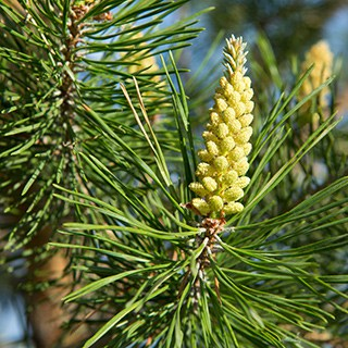 close-up of a Scots Pine tree