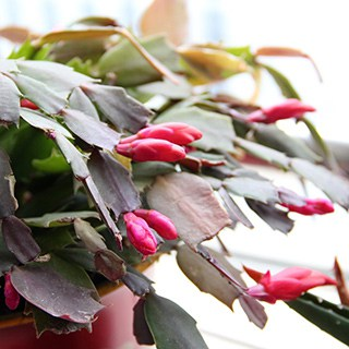 christmas cactus with bright pink buds