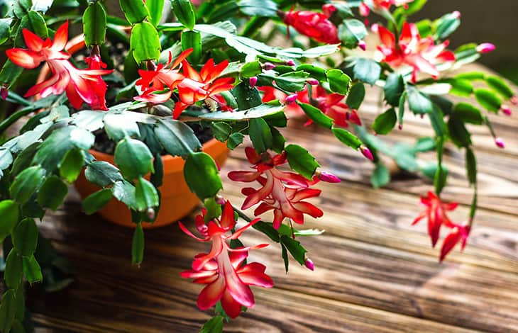 red and green blooming Christmas cactus in a terra cotta pot on a wood floor