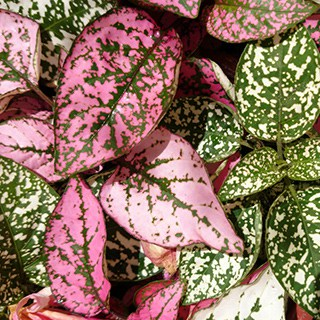 pink, white, and green polka dot plant leaves