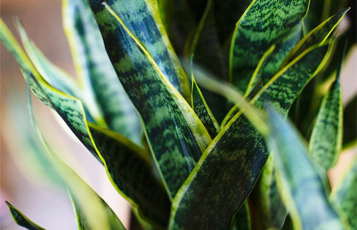 close-up of snake plant leaves