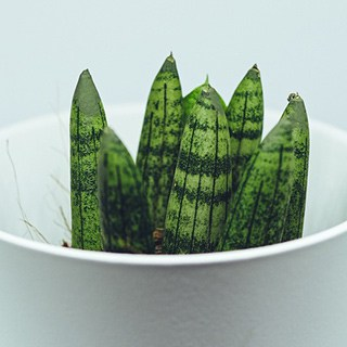 small snake plant in a white bowl