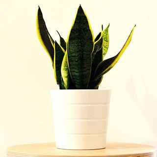short sansevieria plant in a white pot against a cream-colored background
