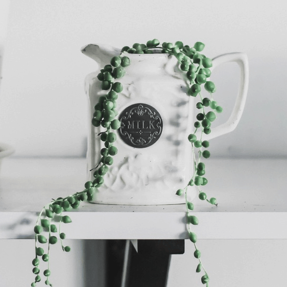string of pearls plant growing out of a ceramic milk pitcher