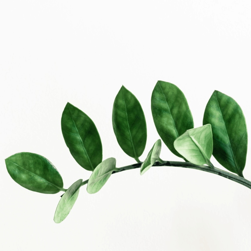 a zz houseplant branch and leaves against a white background