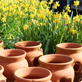 rounded terra cotta planters in front of yellow blooming daffodils